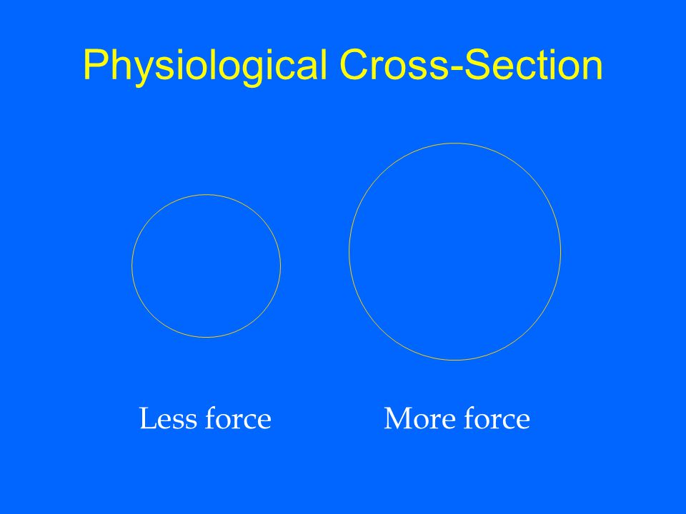 Physiological Cross-Section