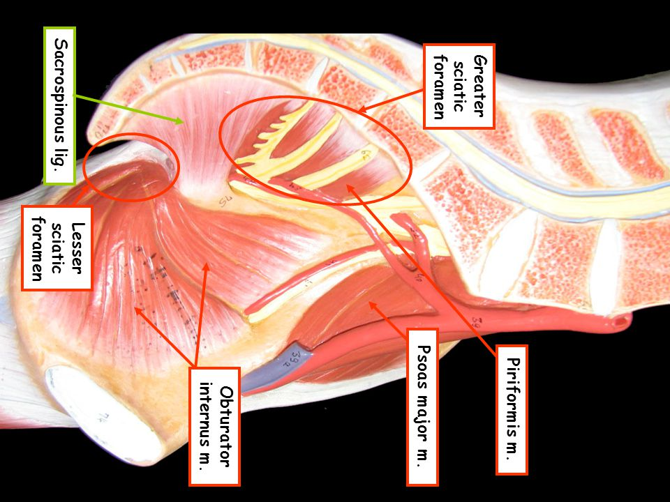 Greater sciatic foramen Lesser sciatic foramen