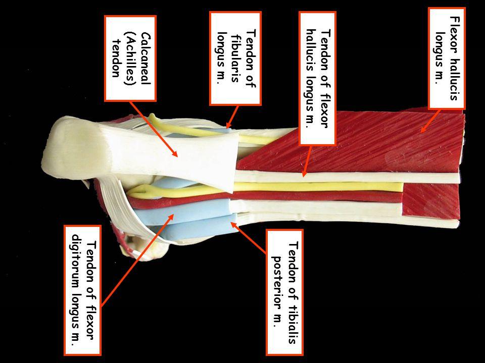 Calcaneal (Achilles) tendon Tendon of fibularis longus m.