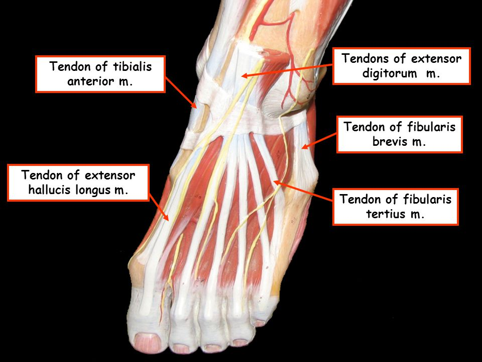 Tendons of extensor digitorum m. Tendon of tibialis anterior m.