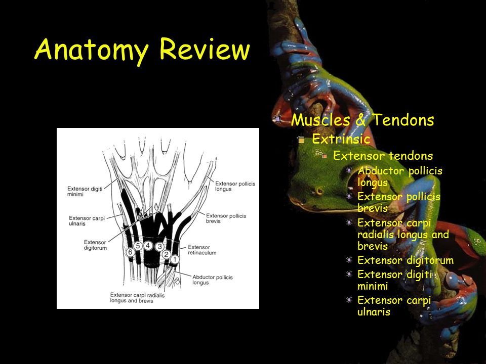 Anatomy Review Muscles & Tendons Extrinsic Extensor tendons