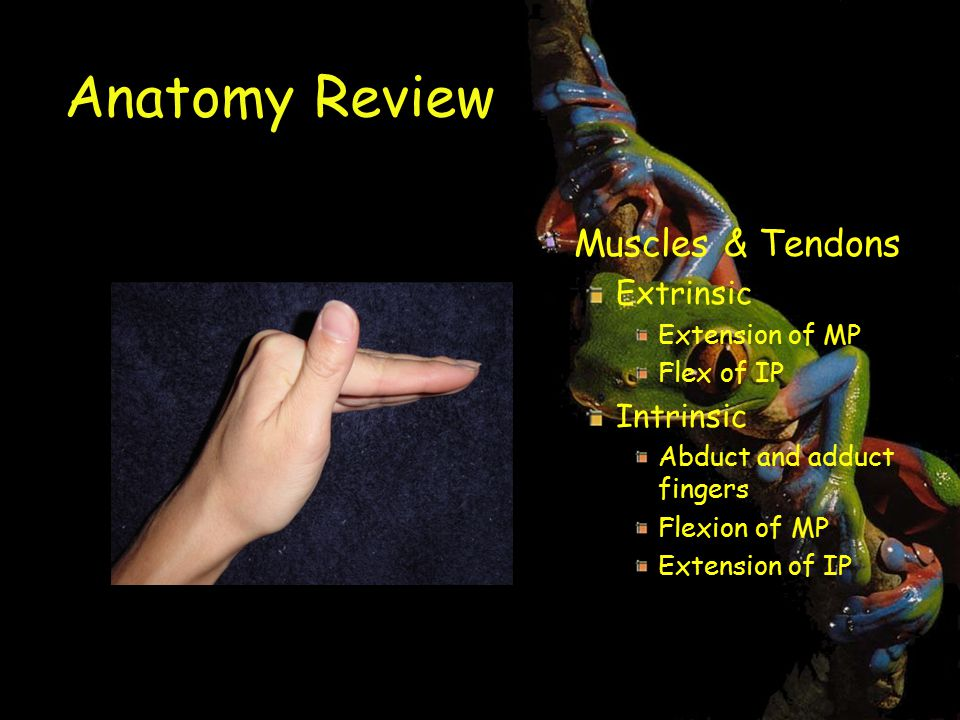 Anatomy Review Muscles & Tendons Extrinsic Intrinsic Extension of MP