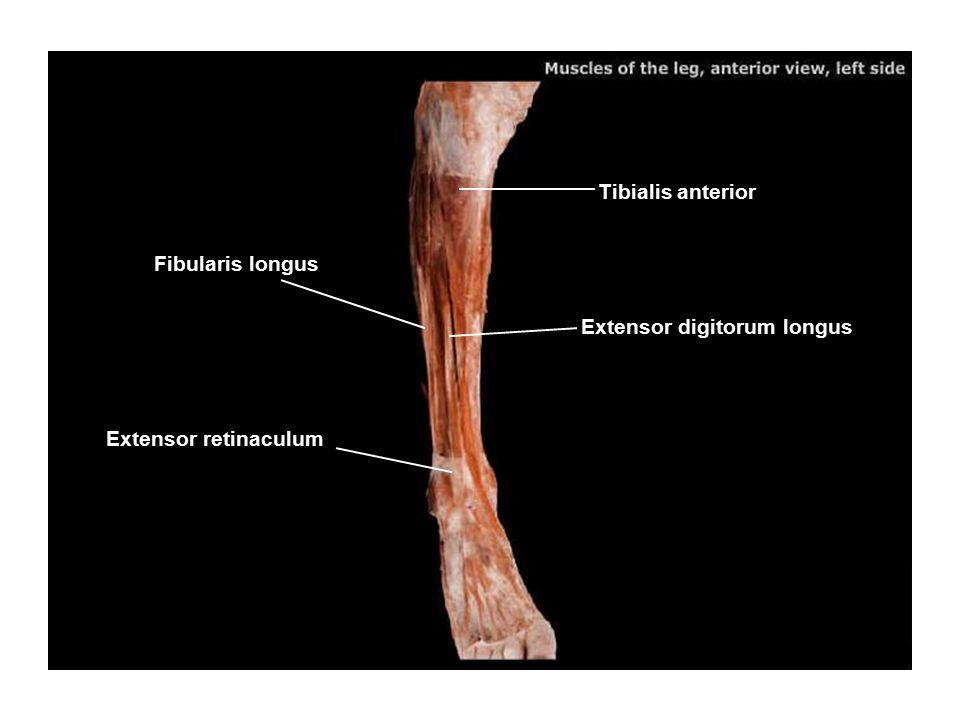 Tibialis anterior Fibularis longus Extensor digitorum longus Extensor retinaculum