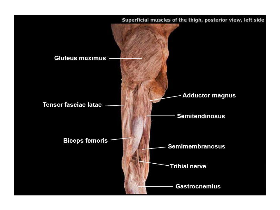 Gluteus maximus Adductor magnus. Tensor fasciae latae. Semitendinosus. Biceps femoris. Semimembranosus.