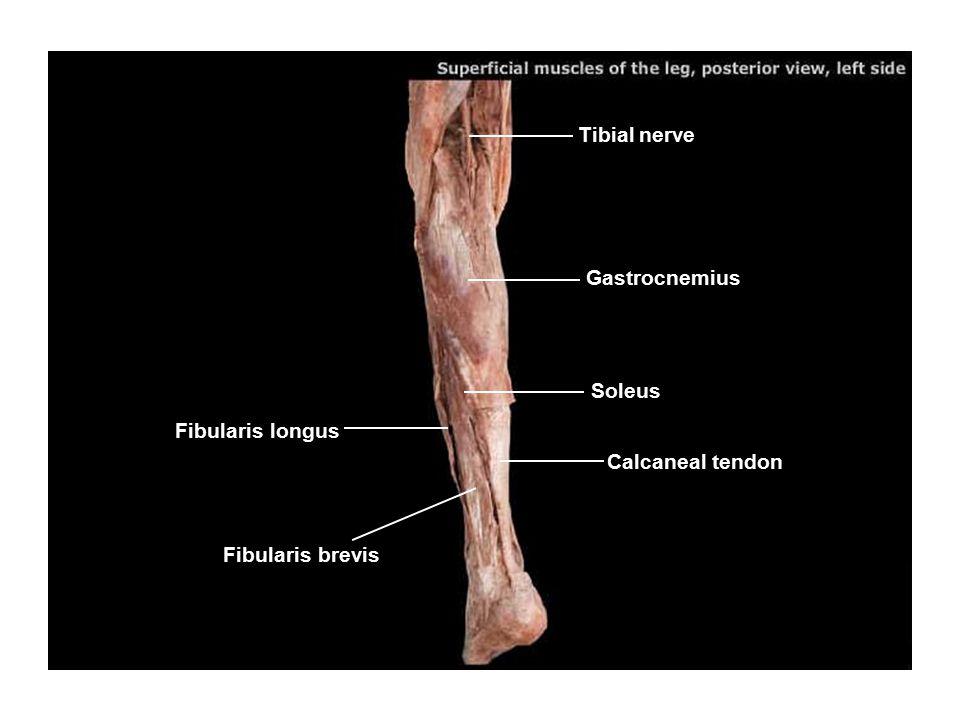 Tibial nerve Gastrocnemius Soleus Fibularis longus Calcaneal tendon Fibularis brevis
