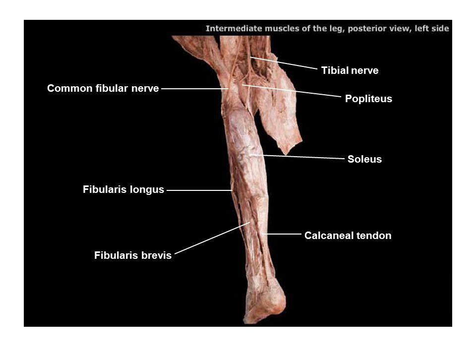 Tibial nerve Common fibular nerve. Popliteus. Soleus.