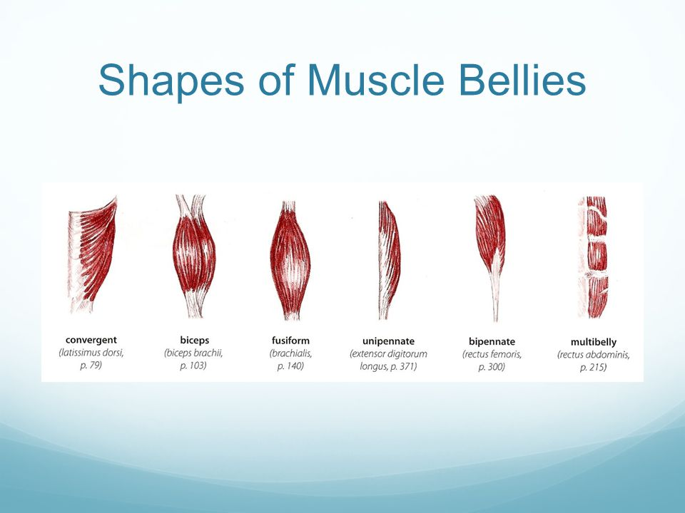 Shapes of Muscle Bellies
