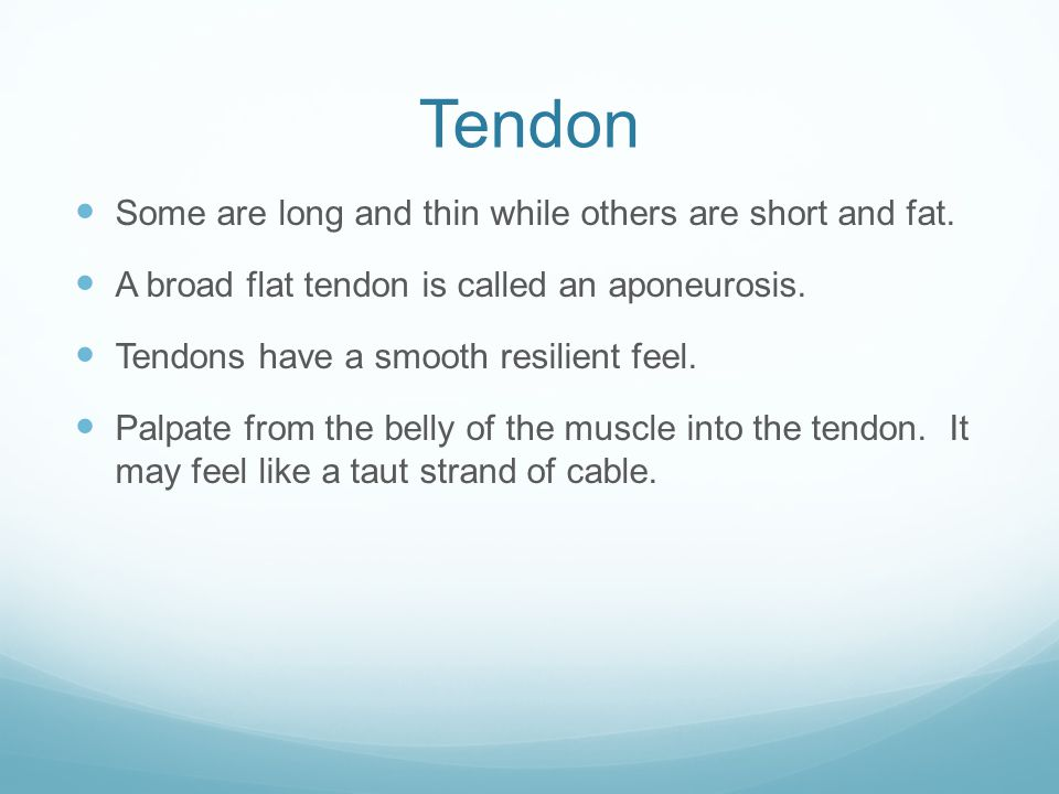Tendon Some are long and thin while others are short and fat.