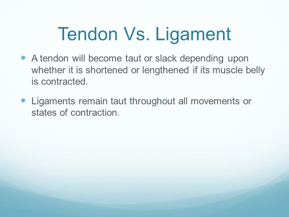 Tendon Vs. Ligament A tendon will become taut or slack depending upon whether it is shortened or lengthened if its muscle belly is contracted.