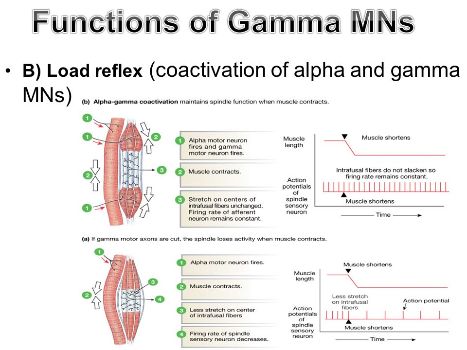 Functions of Gamma MNs B) Load reflex (coactivation of alpha and gamma MNs) 13