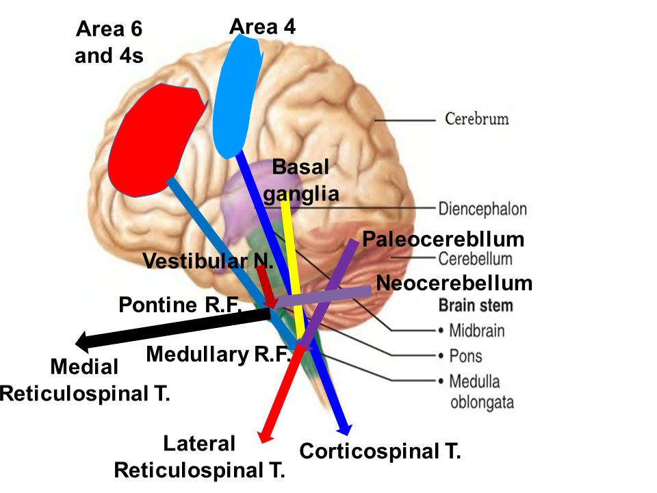 Medial Reticulospinal T. Lateral Reticulospinal T.