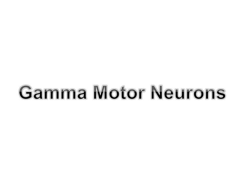 Gamma Motor Neurons