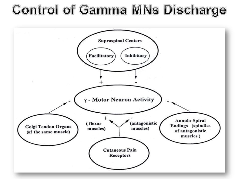 Control of Gamma MNs Discharge