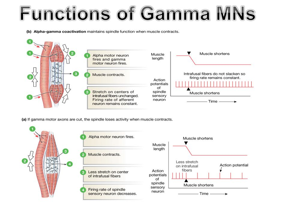 Functions of Gamma MNs 9