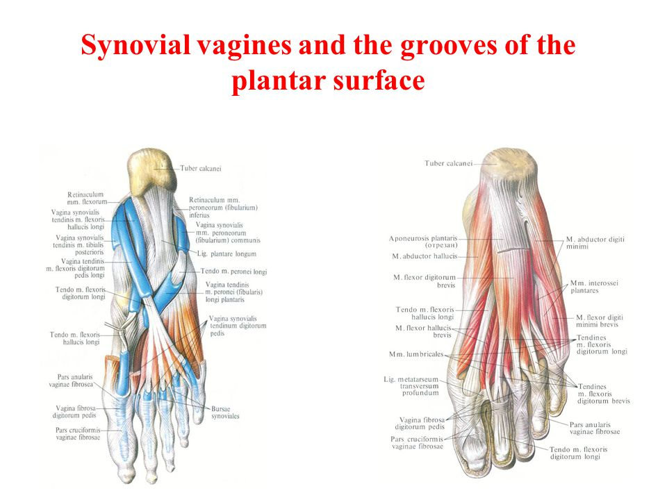 Synovial vagines and the grooves of the plantar surface