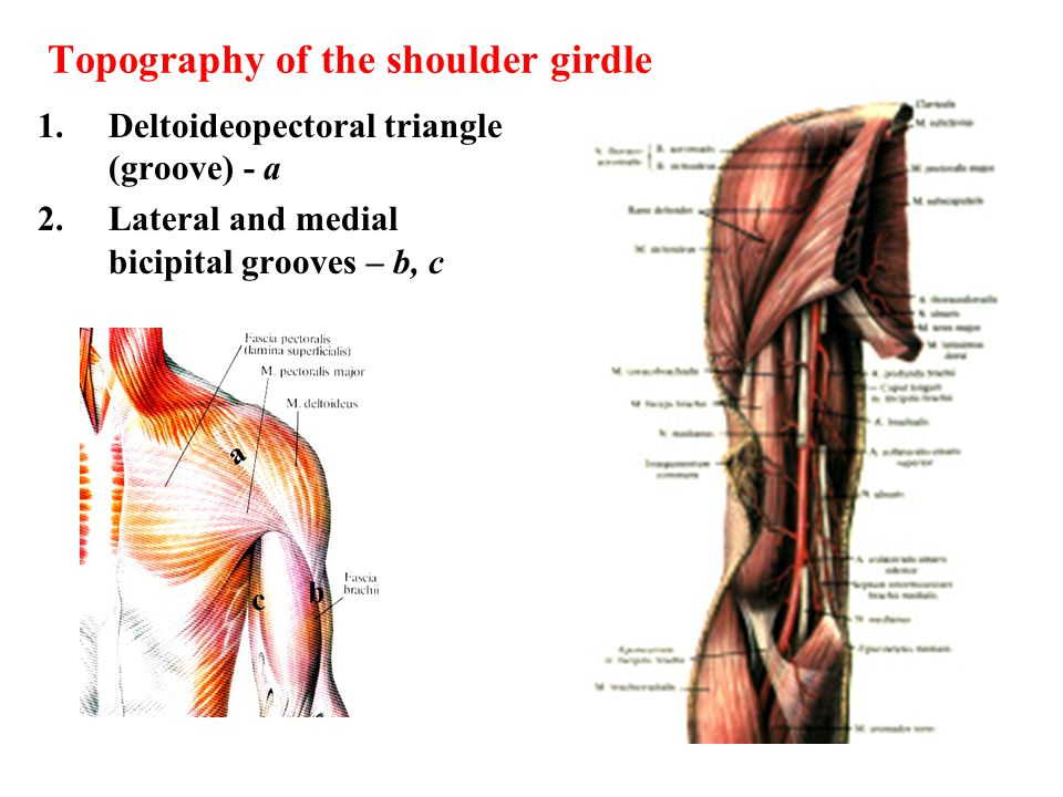 Topography of the shoulder girdle