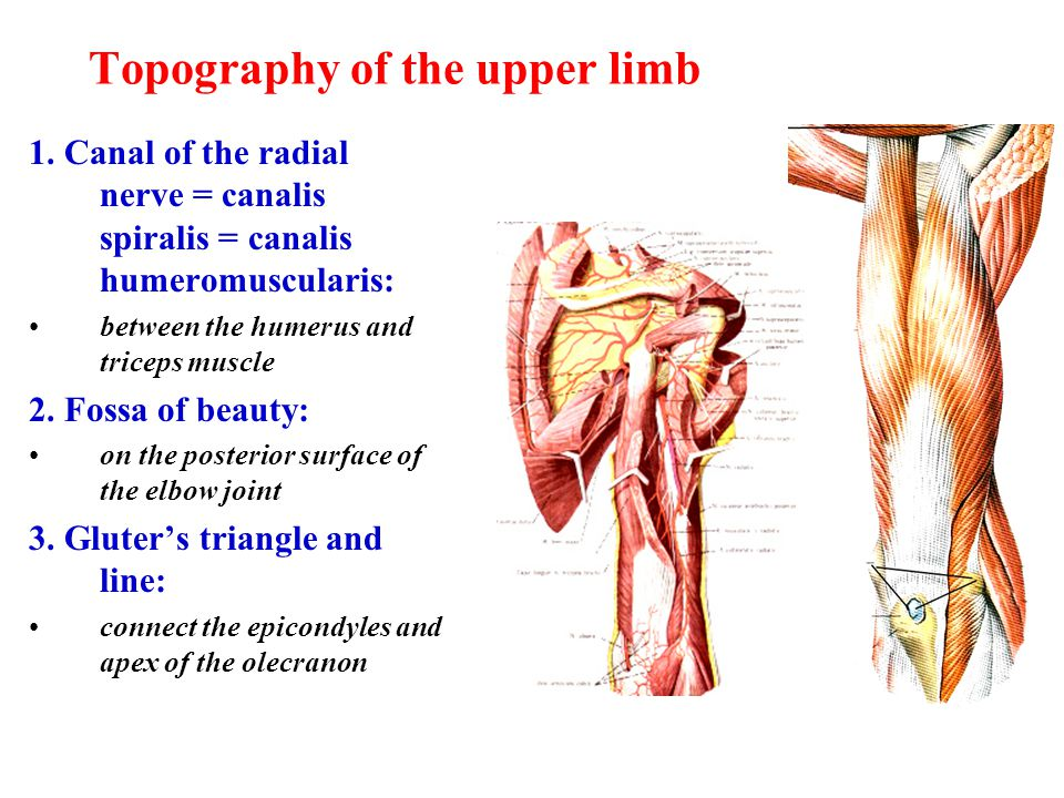 Topography of the upper limb