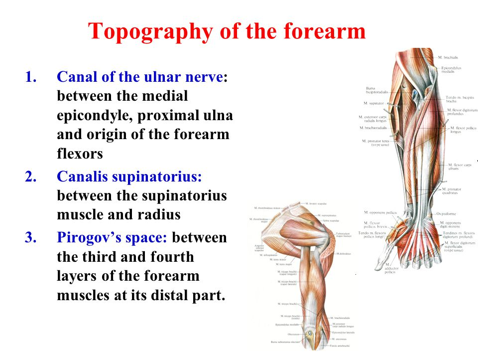 Topography of the forearm