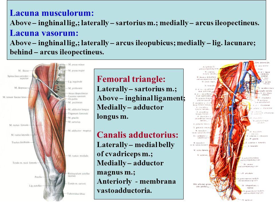 Lacuna musculorum: Lacuna vasorum: Femoral triangle: