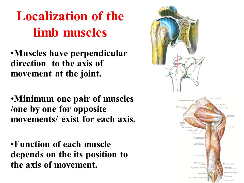 Localization of the limb muscles