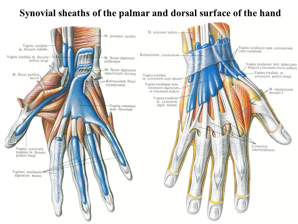 Synovial sheaths of the palmar and dorsal surface of the hand