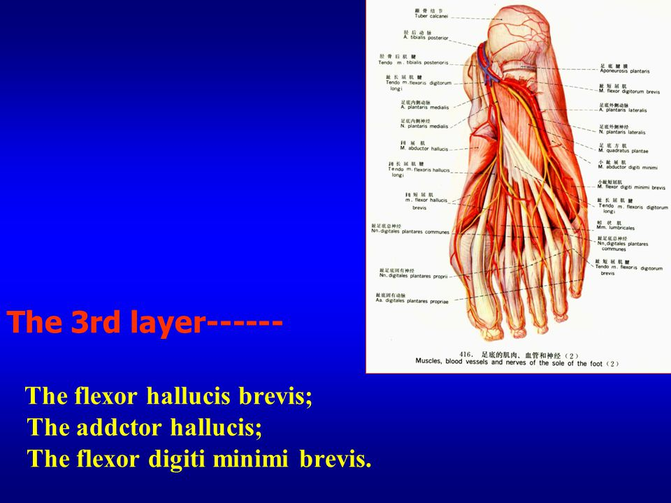 The 3rd layer------ The flexor hallucis brevis; The addctor hallucis; The flexor digiti minimi brevis.