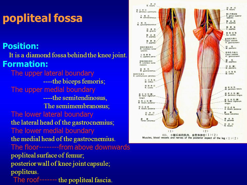 popliteal fossa Position: It is a diamond fossa behind the knee joint