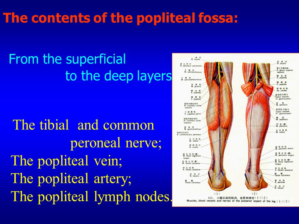 The contents of the popliteal fossa: From the superficial to the deep layers The tibial and common peroneal nerve; The popliteal vein; The popliteal artery; The popliteal lymph nodes.