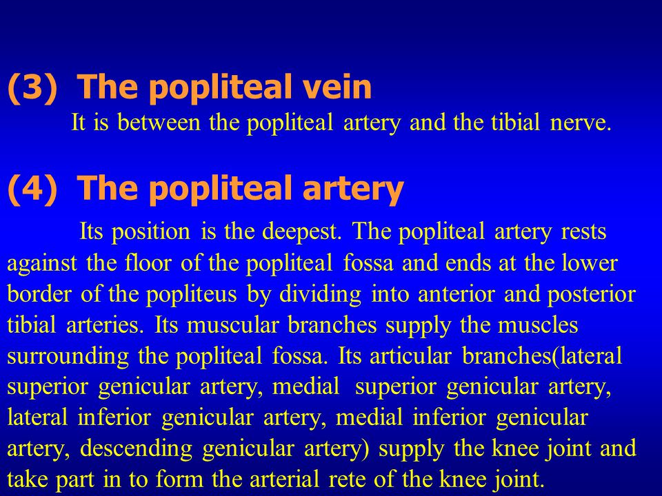 (3) The popliteal vein It is between the popliteal artery and the tibial nerve.
