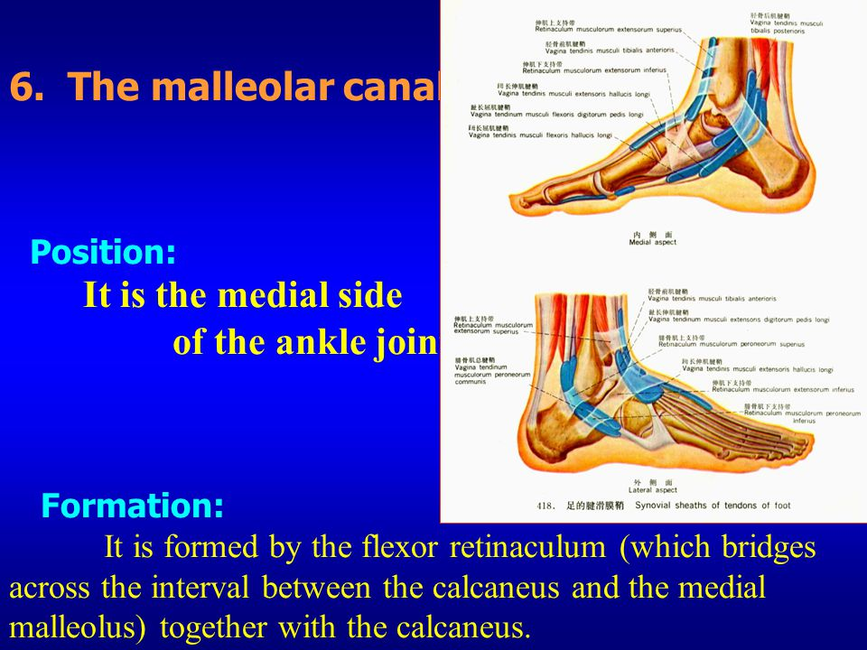 6. The malleolar canal Position: It is the medial side of the ankle joint.