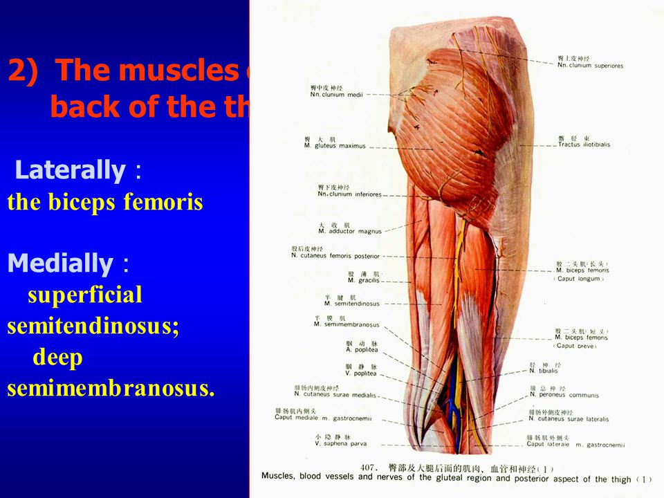 2) The muscles of the back of the thigh Laterally: the biceps femoris Medially: superficial semitendinosus; deep semimembranosus.