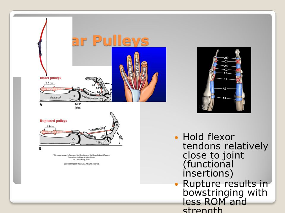 Annular Pulleys Hold flexor tendons relatively close to joint (functional insertions)