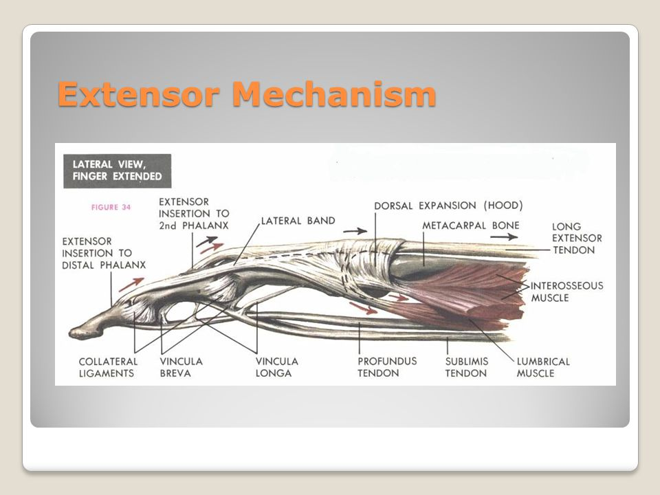 Extensor Mechanism Over the proximal phalanx the extensor tendon (from extensor digitorum) divides into a central band and two lateral bands.