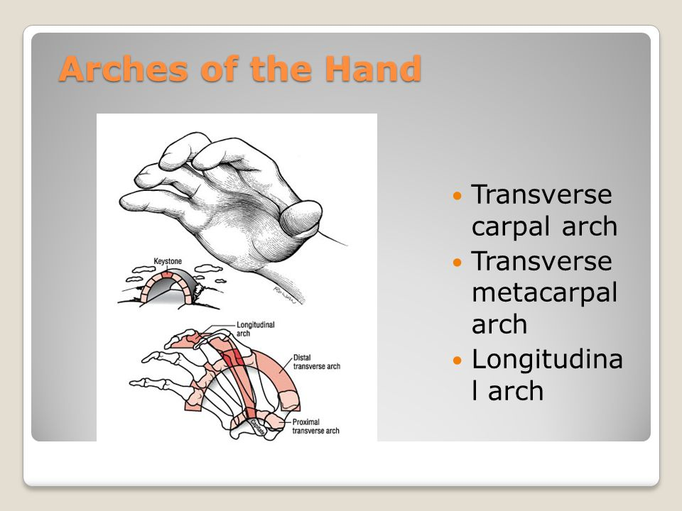 Arches of the Hand Transverse carpal arch Transverse metacarpal arch