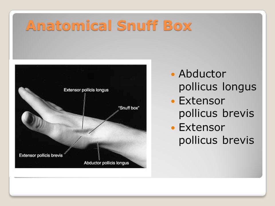 Anatomical Snuff Box Abductor pollicus longus Extensor pollicus brevis