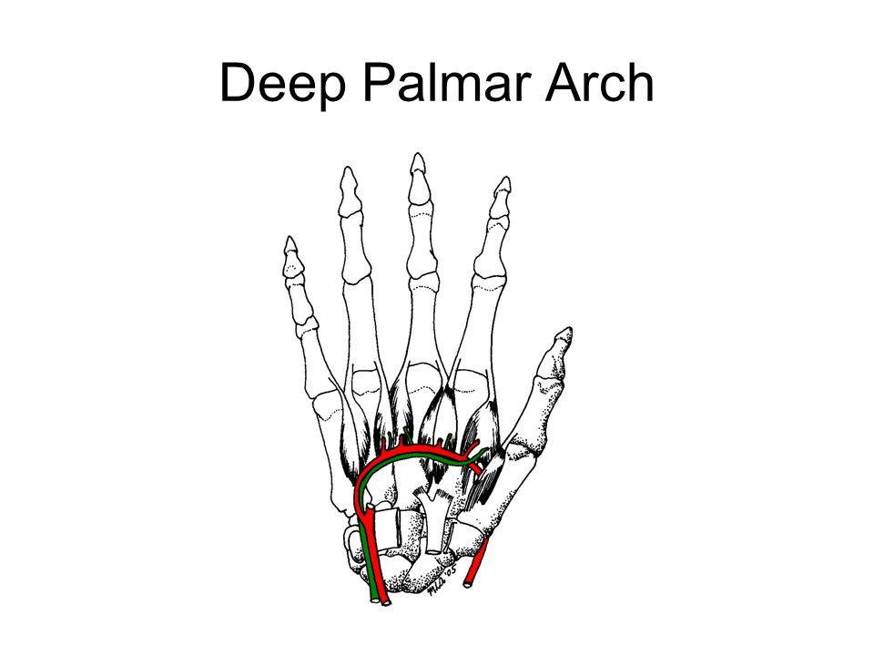 Deep Palmar Arch