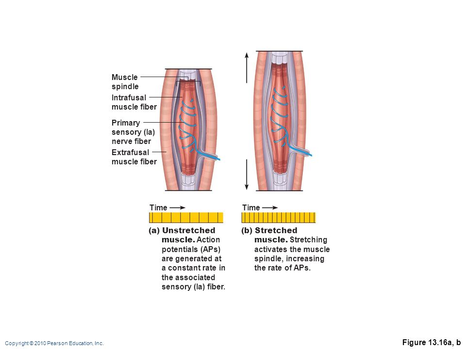 Muscle spindle. Intrafusal. muscle fiber. Primary. sensory (la) nerve fiber. Extrafusal. muscle fiber.