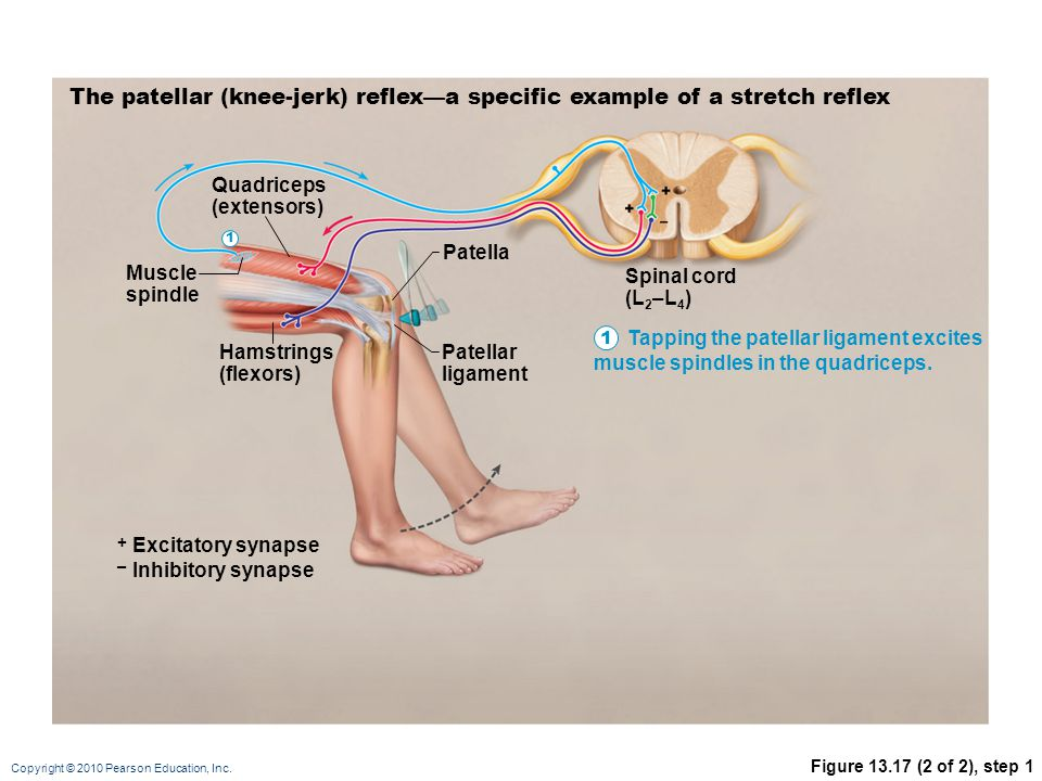 The patellar (knee-jerk) reflex—a specific example of a stretch reflex