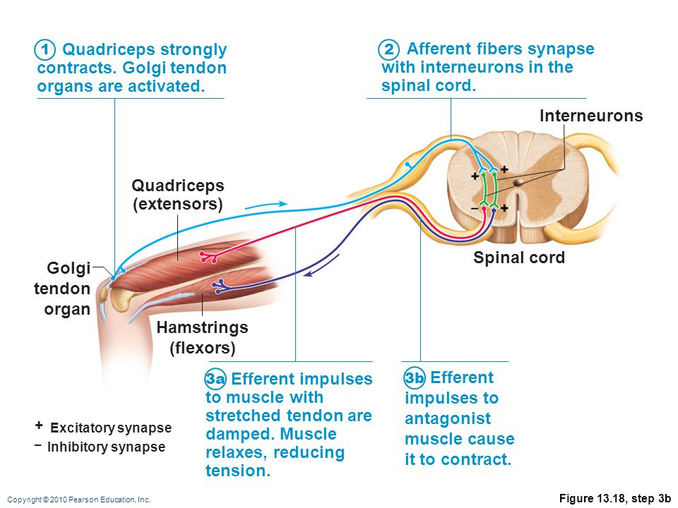 Quadriceps (extensors) Hamstrings (flexors)