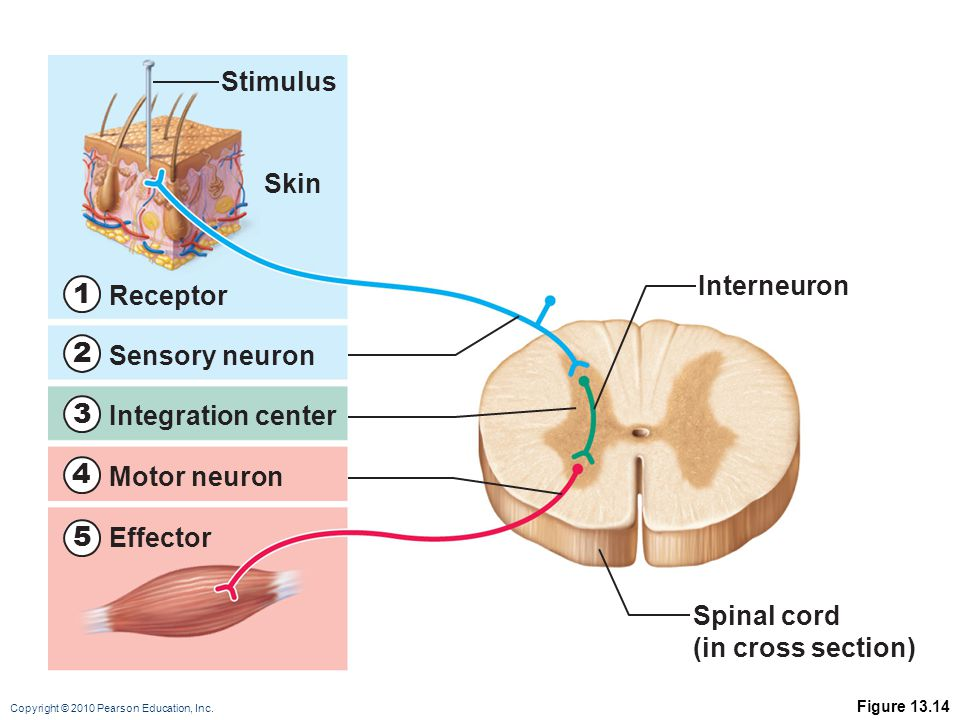 1 2 3 4 5 Stimulus Skin Interneuron Receptor Sensory neuron