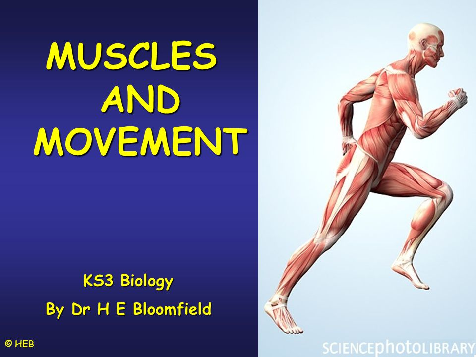MUSCLES AND MOVEMENT KS3 Biology By Dr H E Bloomfield © HEB
