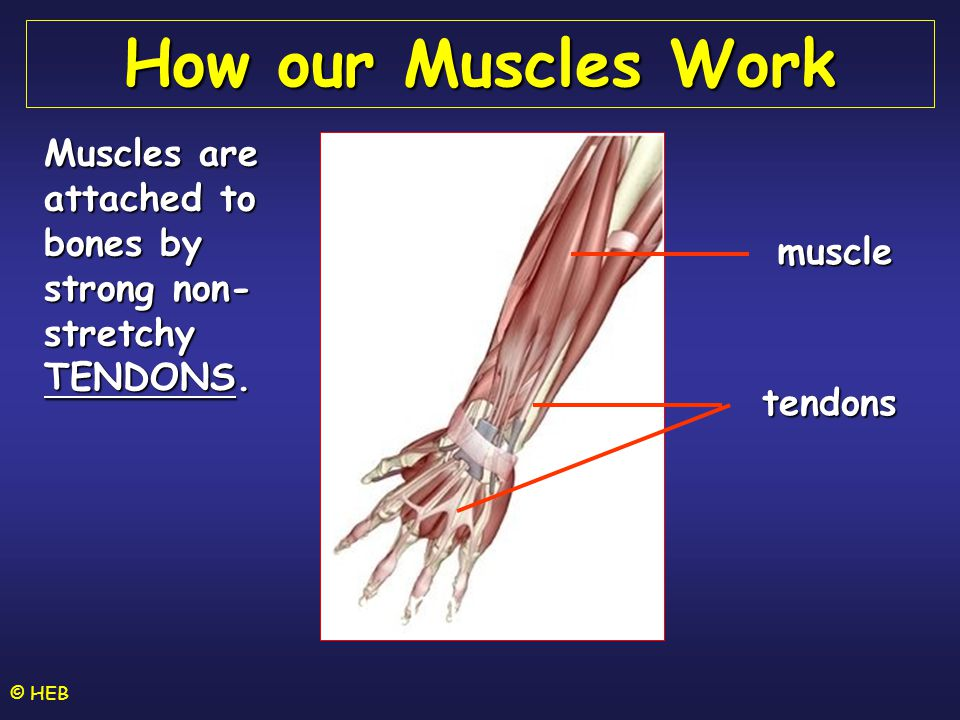 How our Muscles Work Muscles are attached to bones by strong non-stretchy TENDONS. muscle. tendons.
