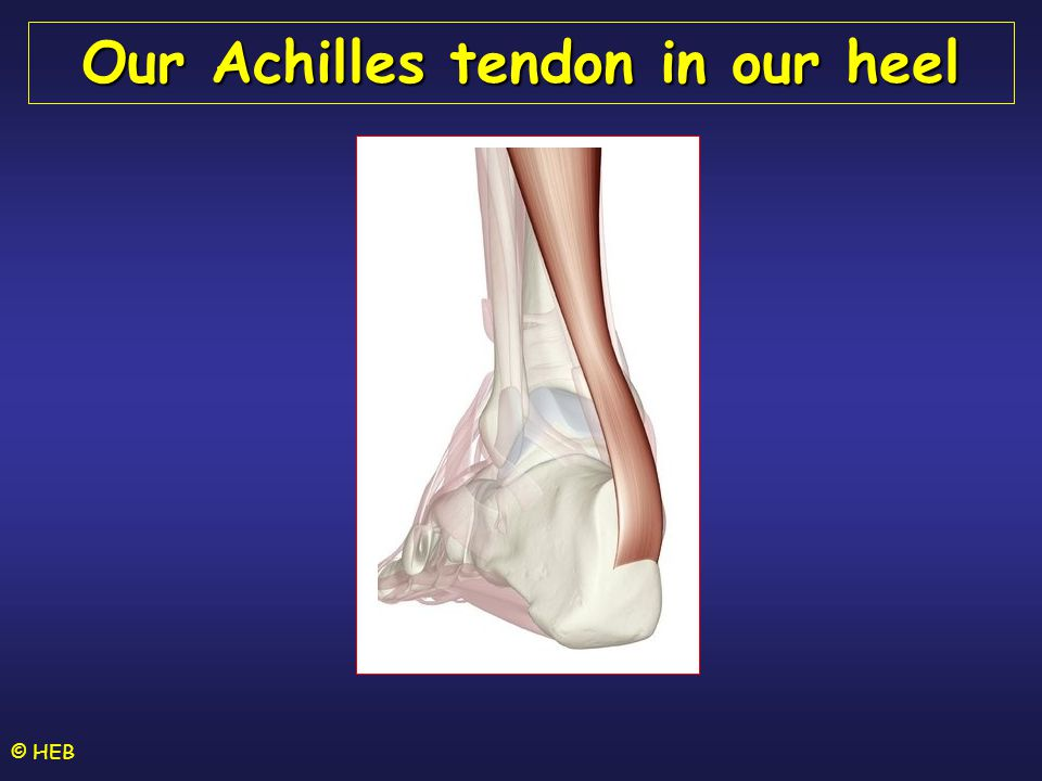 Our Achilles tendon in our heel