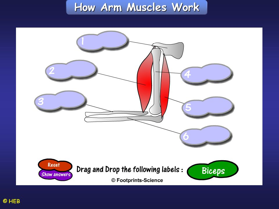 How Arm Muscles Work © HEB Hinge joint