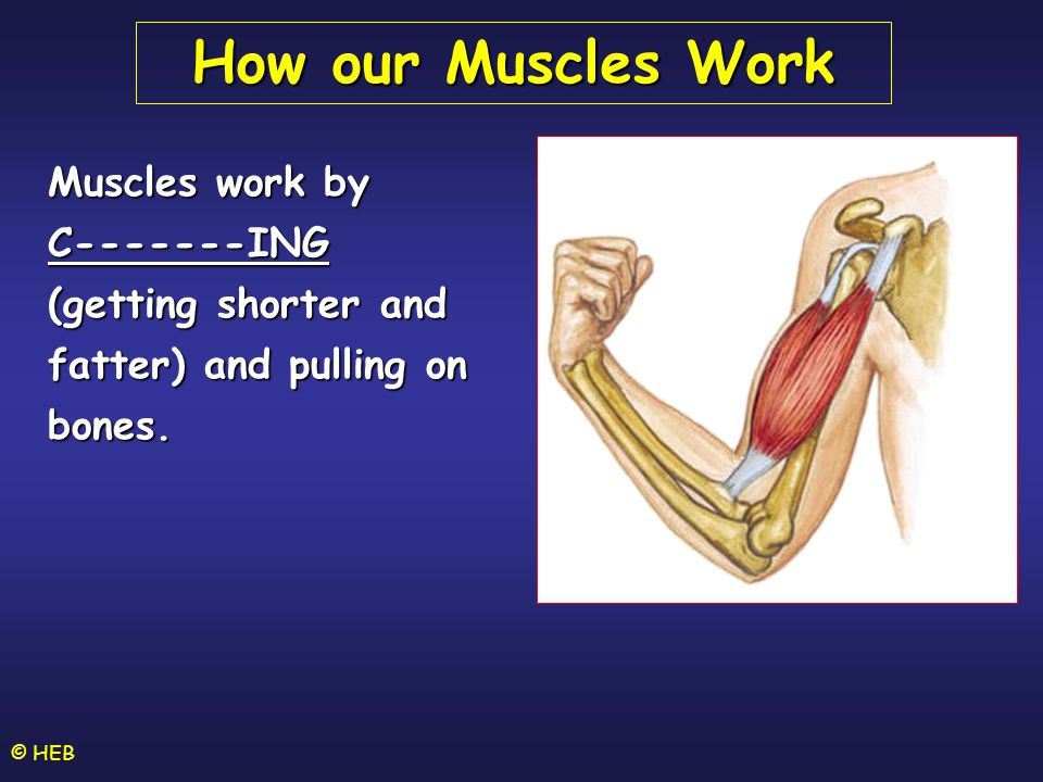How our Muscles Work Muscles work by