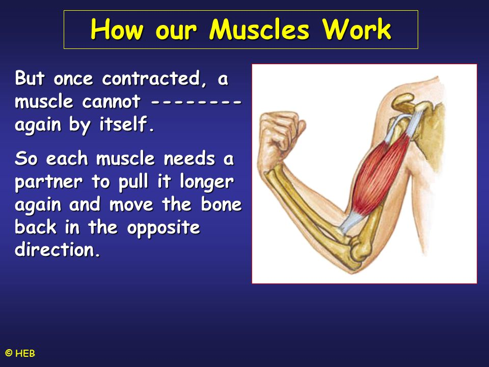 How our Muscles Work But once contracted, a muscle cannot -------- again by itself.