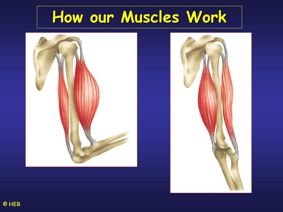 How our Muscles Work © HEB