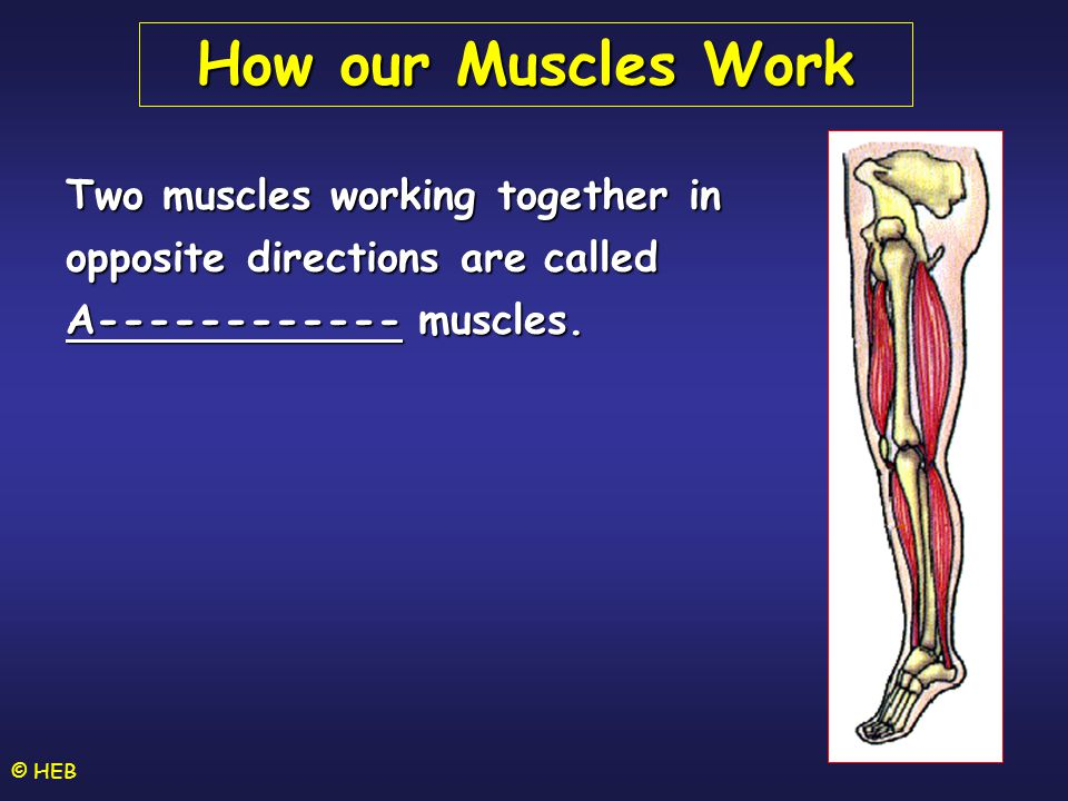 How our Muscles Work Two muscles working together in opposite directions are called. A------------ muscles.