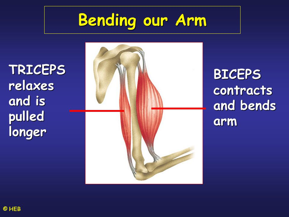 Bending our Arm TRICEPS relaxes and is pulled longer