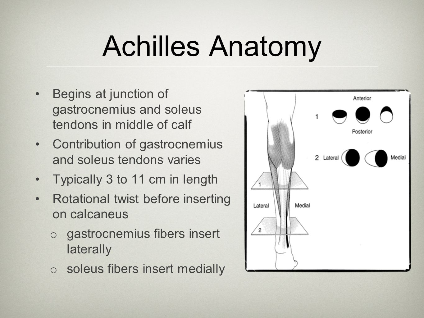 Achilles Anatomy Begins at junction of gastrocnemius and soleus tendons in middle of calf.
